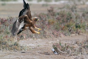 Aguililla calzada / Booted eagle