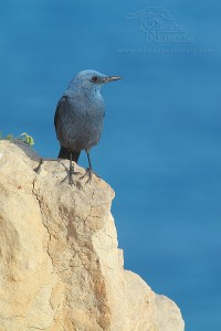 Roquero // Blue rock thrush